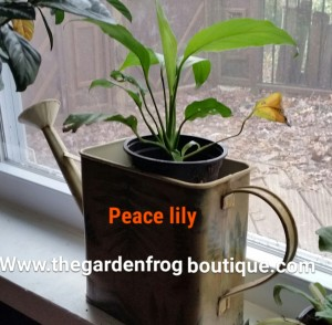 The Peace Lily is one of the easiest houseplants to grow, Spathiphyllum sp