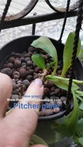 Tropical Pitcher Plant- tips to grow these carnivorous plants