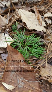 Running Cedar- a Native with a Christmas Past, Diphasiastrum digitatum