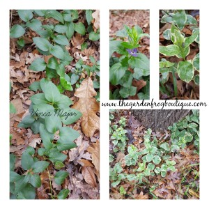 Can you control a groundcover, vinca major green and variegated, groundcovers
