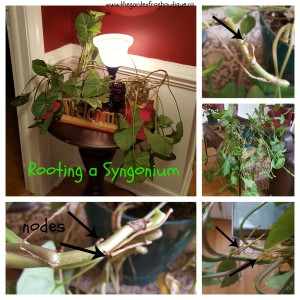 How to root a plant in water, Syngonium