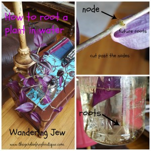 How to root a plant in water, Wandering Jew