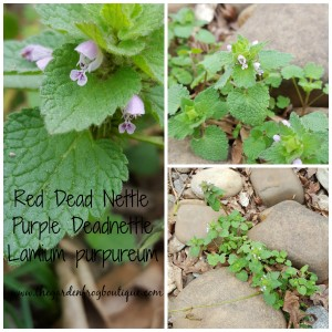 Purple Deadnettle (Lamium purpureum) a pretty little weed with purple flowers, What is the plant taking over my lawn with small purple flowers?