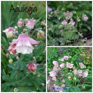 Aquilegia (Columbine) in my garden, spring bloomer, prolific reseeder