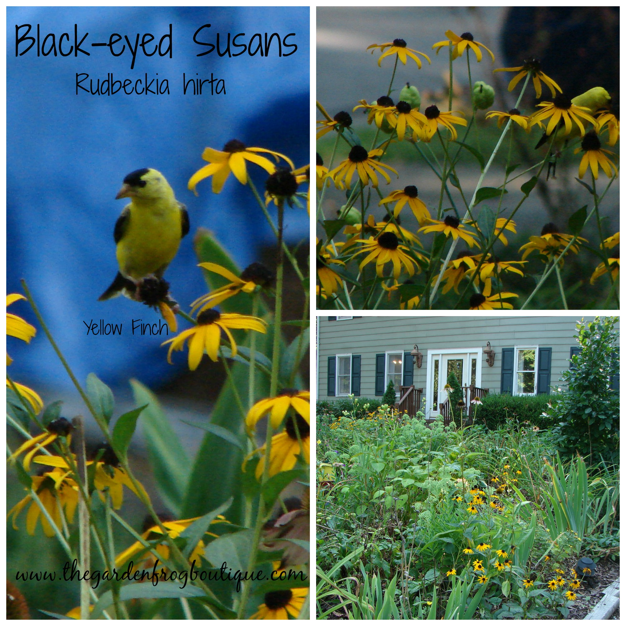Black eyed susans in the garden the garden frog boutique Black eyed susans
