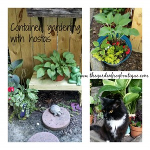 Container gardening with hostas